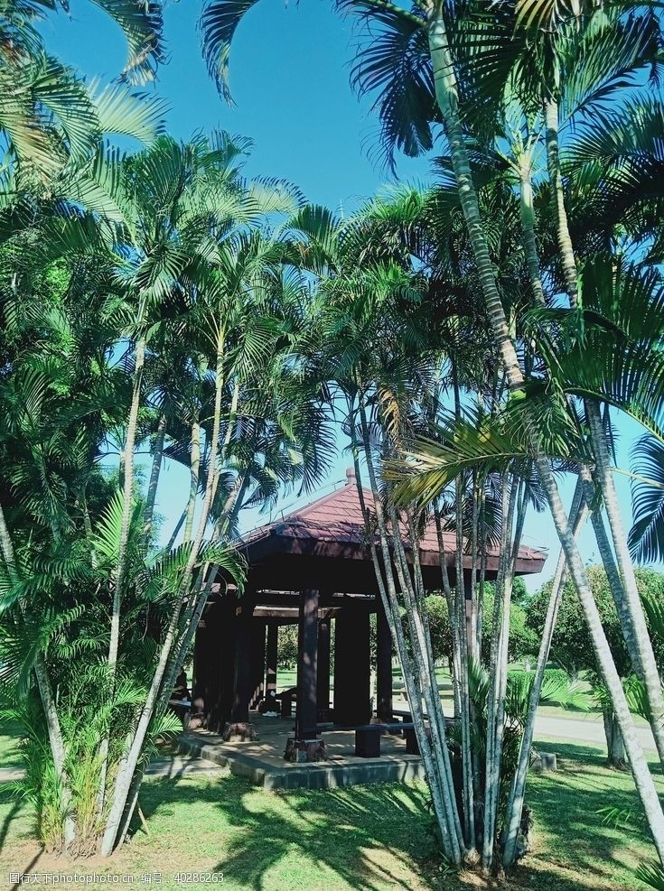 公园椰子树图片