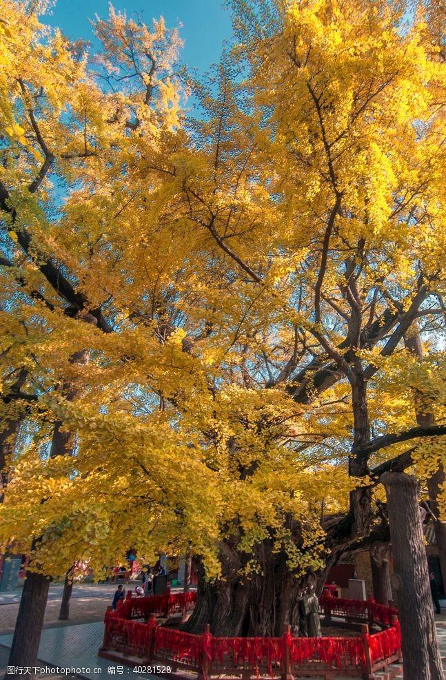 绿色银杏树图片