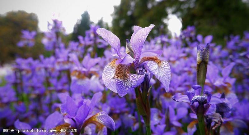 盆栽鸢尾图片