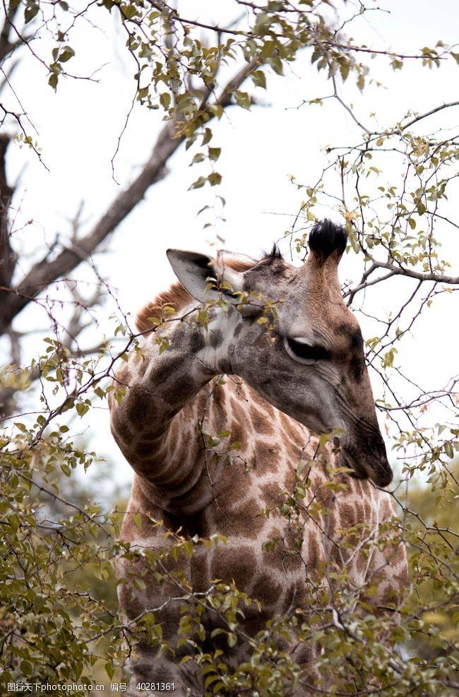 麒麟长颈鹿图片