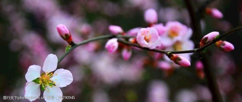 粉色东北杏花图片