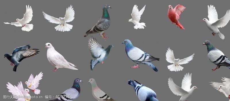蓝天鸽子图片