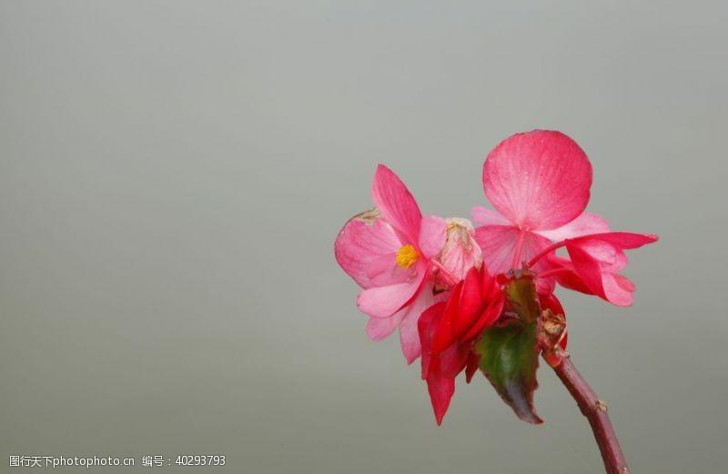 海棠花朵图片