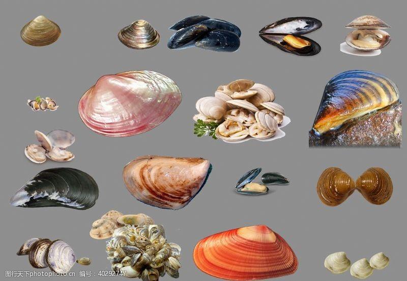 分层图花蛤图片