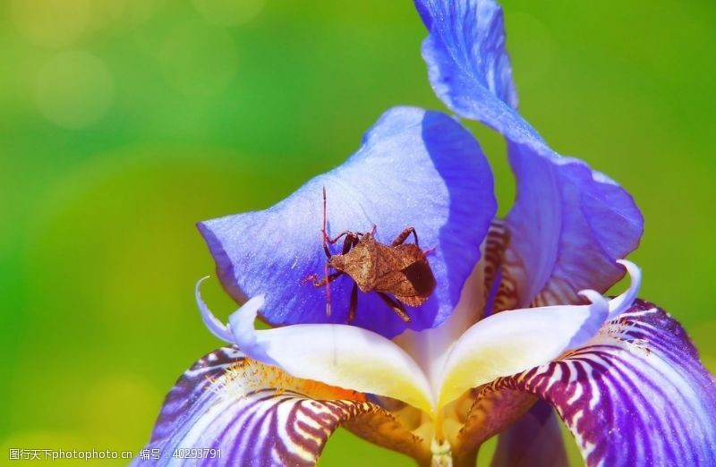 花瓣蓝紫色的鸢尾花图片