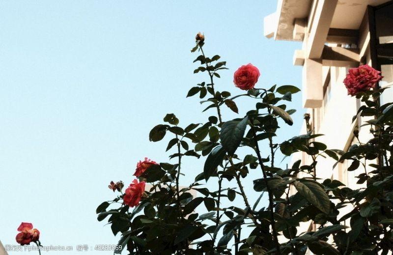 浪漫唯美玫瑰图片