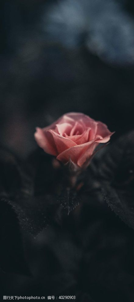 花儿玫瑰图片