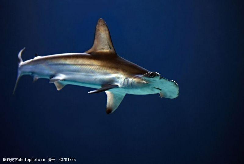 鱼类鲨鱼图片