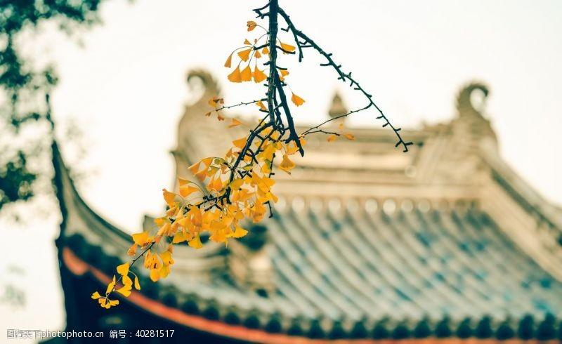公路银杏树叶图片