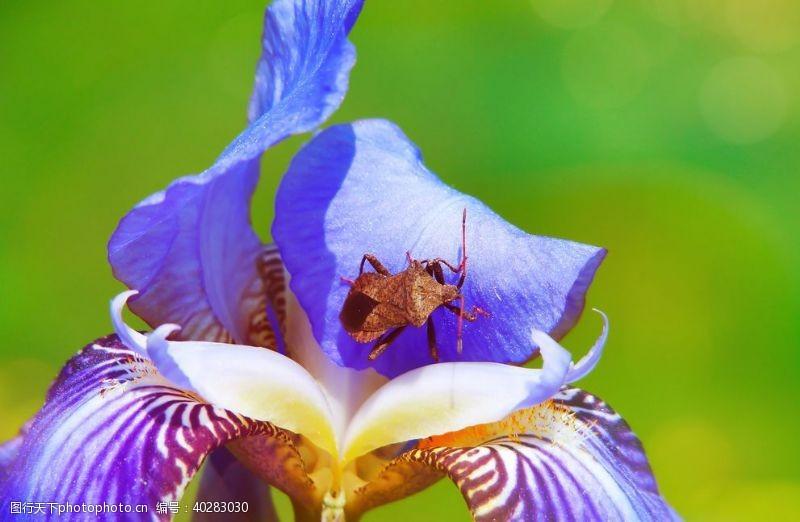 花蕊鸢尾图片