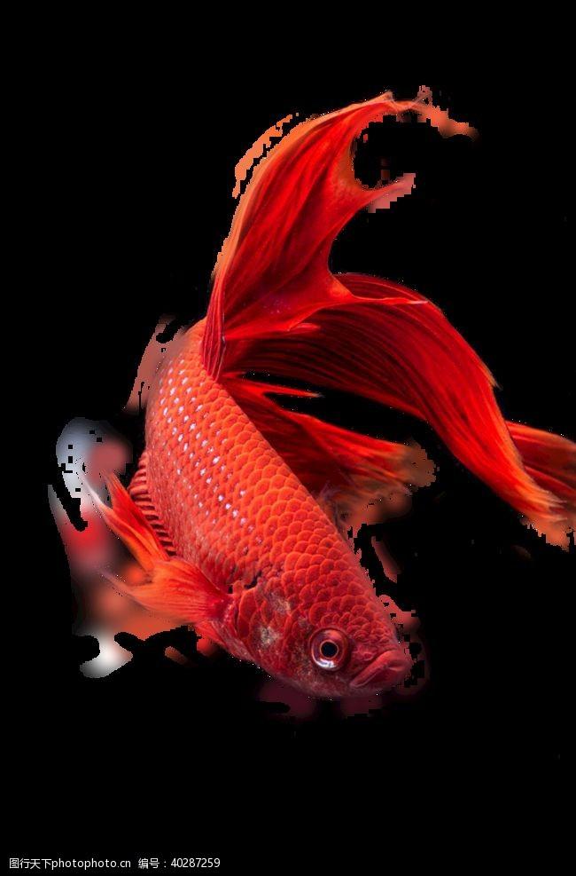 莲花鱼图片