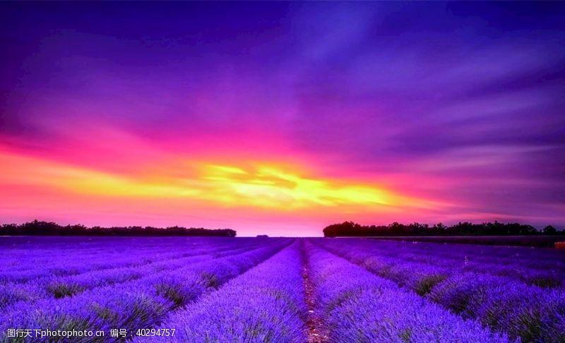 紫色薰衣草图片